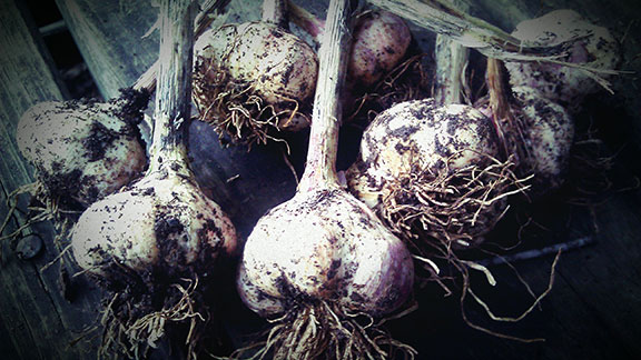 Our homegrown, organic garlic
