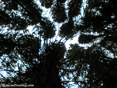 My perspective - Straight Up (through the trees at Hoyt Arboretum)