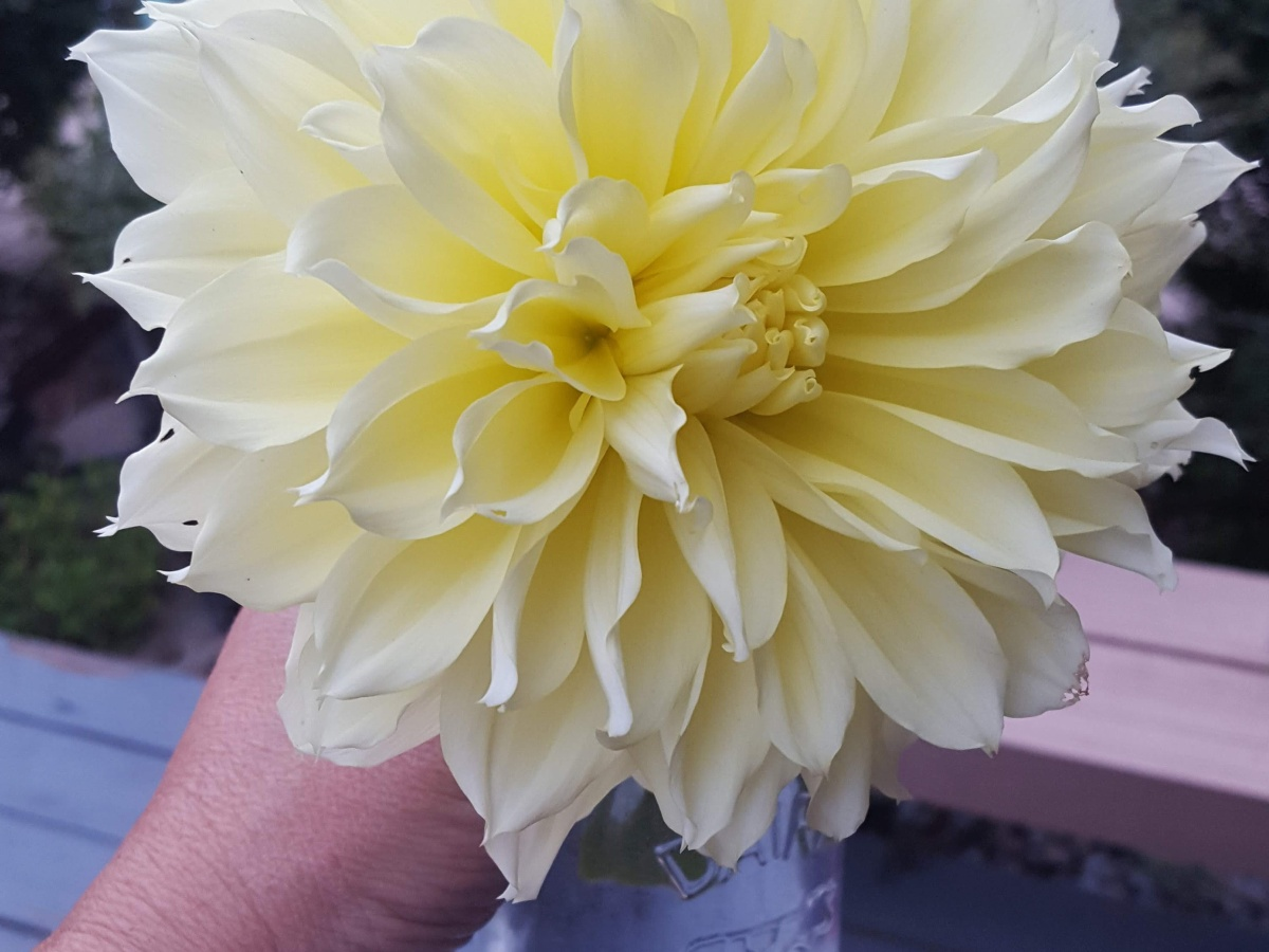 Yellow Dinner Plate Dahlia from Crystal's yard