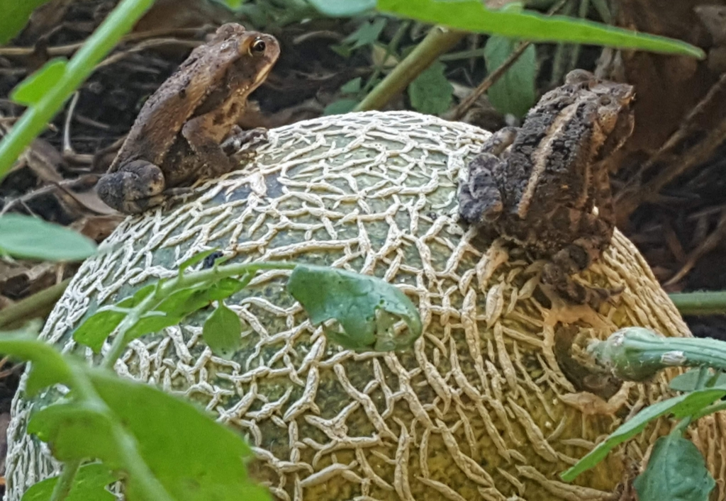 2 little frogs sitting on a cantaloupe